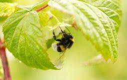 Una abeja en una flor en frambuesas Imagen de archivo libre de regalías