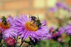 Una abeja en una flor púrpura Primer Imagenes de archivo