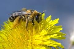 Una abeja en una flor produce el néctar Fotografía de archivo libre de regalías