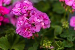 Una abeja en una flor rosada Fotos de archivo libres de regalías