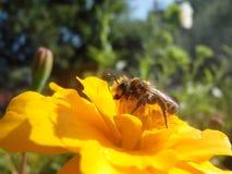 Una abeja en una flor en tiempo de primavera en la flor Fotos de archivo