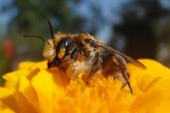 Una abeja en una flor en vista lateral del tiempo de primavera Foto de archivo