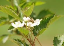 Una abeja en flores Imágenes de archivo libres de regalías