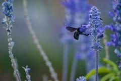 Una abeja en flores de la lavanda imagenes de archivo