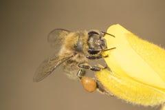 Una abeja en la aulaga en el campo común de Southampton Imagen de archivo