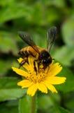 Una abeja en la flor Fotos de archivo