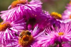 Una abeja en la flor Fotos de archivo libres de regalías