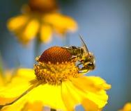 Una abeja en la flor amarilla Imagen de archivo