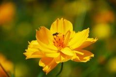 Una abeja en la flor amarilla Fotos de archivo