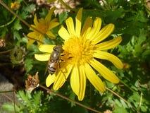 Una abeja en la flor amarilla Imagenes de archivo