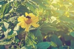 Una abeja en la flor amarilla de la margarita Foto de archivo