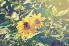 Una abeja en la flor amarilla de la margarita Fotografía de archivo libre de regalías