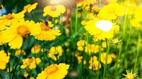 Una abeja en la flor amarilla de la margarita, en jardín Fotos de archivo libres de regalías