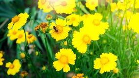 Una abeja en la flor amarilla de la margarita, en jardín Imagenes de archivo