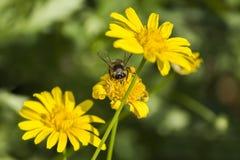 Una abeja en la flor amarilla de la margarita, macro Imágenes de archivo libres de regalías