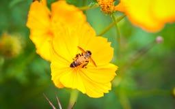Una abeja en la flor amarilla del cosmos Imágenes de archivo libres de regalías