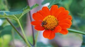 Una abeja en la flor anaranjada Foto de archivo libre de regalías