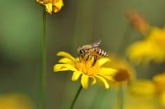 Una abeja en la flor de la maravilla Fotos de archivo