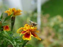 Una abeja en la flor de la maravilla Imagen de archivo libre de regalías