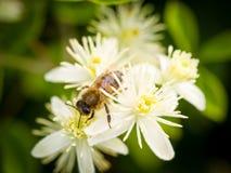 Una abeja en la flor de la madreselva imagenes de archivo