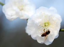 Una abeja en la flor del melocotón Fotografía de archivo