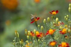Una abeja en la flor en fondo natural del disharp Fotografía de archivo libre de regalías