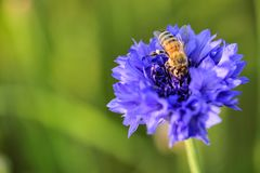 Una abeja en la flor violeta del iris en foco Fotos de archivo libres de regalías