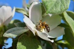 Una abeja en la inflorescencia debajo de las hojas Imagen de archivo