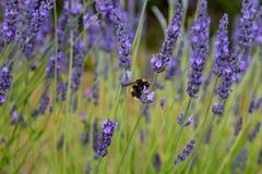 Una abeja en la lavanda Foto de archivo libre de regalías