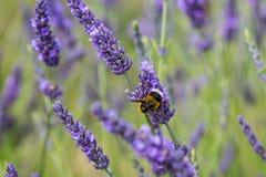 Una abeja en la lavanda Imagen de archivo libre de regalías
