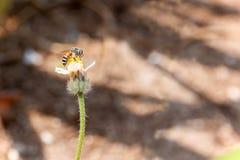 Una abeja en la pequeña flor Imagenes de archivo