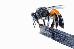 Una abeja en la rama Aislado en el fondo blanco Foto de archivo libre de regalías