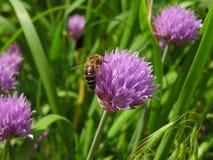 Una abeja en las cebolletas florece dentro de huerto de la primavera Foto de archivo libre de regalías