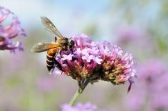 Una abeja en las flores Imagenes de archivo