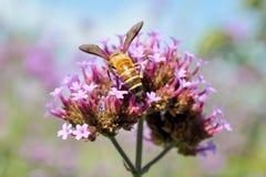 Una abeja en las flores Foto de archivo libre de regalías