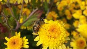 Una abeja en las flores amarillas Fotografía de archivo libre de regalías