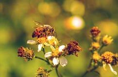 Una abeja en las flores blancas Fotografía de archivo libre de regalías