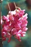 Una abeja en las flores de la langosta Fotografía de archivo
