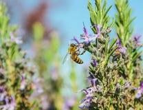 Una abeja en las flores de la lavanda Imagen de archivo libre de regalías