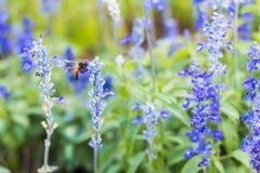 Una abeja en las flores de la lavanda Imagen de archivo