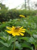 Una abeja en las flores de la margarita de Singapur Fotos de archivo libres de regalías