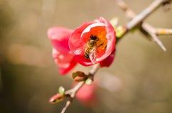 Una abeja en los pólenes de la flor salvaje con el fondo verde Fotografía de archivo