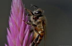 Una abeja en una mala hierba Fotografía de archivo