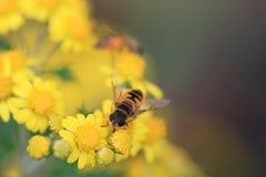 Una abeja en margarita Fotografía de archivo