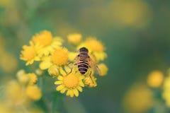 Una abeja en margarita amarilla Fotos de archivo libres de regalías