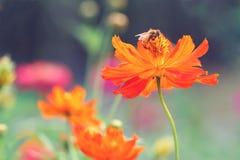 Una abeja en una margarita anaranjada Fotografía de archivo