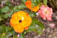 Una abeja en Rose Avocet Fotos de archivo libres de regalías