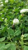 Una abeja en trébol Fotos de archivo libres de regalías