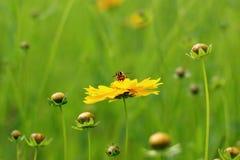 """Una abeja en un 'del èœœèœ del """"de flower/èŠ±æœµä¸Šçš Foto de archivo"""