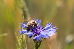 Una abeja en un aciano Foto de archivo libre de regalías